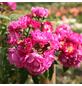 ROSEN TANTAU Blühpflanze »Perennial Blue«, Blüte: violett-Thumbnail