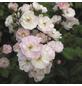 ROSEN TANTAU Blühpflanze »Perennial Blush«, Blüte: weiß-Thumbnail