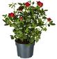 GARTENKRONE Blühpflanze Rose hybrid-Thumbnail