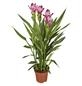 GARTENKRONE Blühpflanze Safranwurz alismatifolia-Thumbnail