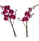 GARTENKRONE Blühpflanze »Schmetterlingsorchidee«,  aktuelle max. Pflanzenhöhe 60 cm , Topf-Ø 15 cm-Thumbnail