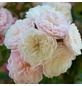 ROSEN TANTAU Blühpflanze »Starlet Alina«, Blüte: zweifarbig-Thumbnail