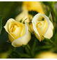 ROSEN TANTAU Blühpflanze »Starlet Elida«, Blüte: gelb-Thumbnail