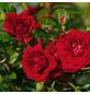 ROSEN TANTAU Blühpflanze »Starlet Natalie«, Blüte: rot-Thumbnail
