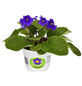GARTENKRONE Blühpflanze Usambaraveilchen ionantha-Thumbnail
