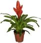 GARTENKRONE Blühpflanze Vriesee hybrid, orange-Thumbnail