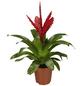 GARTENKRONE Blühpflanze Vriesee hybrid, rot-Thumbnail