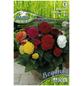 PEGASUS Blumenzwiebel Begonie, Begonia Tuberhybrida, Blütenfarbe: mehrfarbig-Thumbnail