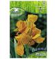 PEGASUS Blumenzwiebel Blumenrohr, Canna indica, Blütenfarbe: mehrfarbig-Thumbnail