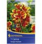 KIEPENKERL Blumenzwiebel Blumenrohr, Canna indica, Blütenfarbe: mehrfarbig-Thumbnail