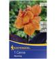 KIEPENKERL Blumenzwiebel Blumenrohr, Canna indica, Blütenfarbe: orange-Thumbnail