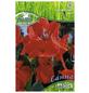 PEGASUS Blumenzwiebel Blumenrohr, Canna indica, Blütenfarbe: rot-Thumbnail