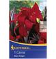 KIEPENKERL Blumenzwiebel Blumenrohr, Canna indica, Blütenfarbe: rot-Thumbnail