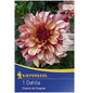 KIEPENKERL Blumenzwiebel Dahlie, Dahlia Hybrida, Blütenfarbe: braun-Thumbnail