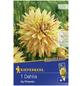 KIEPENKERL Blumenzwiebel Dahlie, Dahlia Hybrida, Blütenfarbe: gelb-Thumbnail