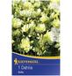 KIEPENKERL Blumenzwiebel Dahlie, Dahlia Hybrida, Blütenfarbe: hellgelb-Thumbnail