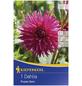 KIEPENKERL Blumenzwiebel Dahlie, Dahlia Hybrida, Blütenfarbe: lila-Thumbnail