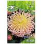 PEGASUS Blumenzwiebel Dahlie, Dahlia Hybrida, Blütenfarbe: mehrfarbig-Thumbnail