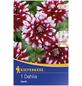 KIEPENKERL Blumenzwiebel Dahlie, Dahlia Hybrida, Blütenfarbe: mehrfarbig-Thumbnail