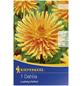 KIEPENKERL Blumenzwiebel Dahlie, Dahlia Hybrida, Blütenfarbe: orange-Thumbnail
