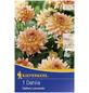 KIEPENKERL Blumenzwiebel Dahlie, Dahlia Hybrida, Blütenfarbe: pfirsichfarben-Thumbnail