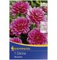 KIEPENKERL Blumenzwiebel Dahlie, Dahlia Hybrida, Blütenfarbe: pink-Thumbnail