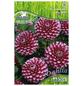 PEGASUS Blumenzwiebel Dahlie, Dahlia Hybrida, Blütenfarbe: pink/weiß-Thumbnail