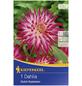 KIEPENKERL Blumenzwiebel Dahlie, Dahlia Hybrida, Blütenfarbe: pink/weiß-Thumbnail
