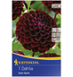 KIEPENKERL Blumenzwiebel Dahlie, Dahlia Hybrida, Blütenfarbe: purpurfarben-Thumbnail
