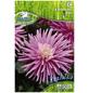 PEGASUS Blumenzwiebel Dahlie, Dahlia Hybrida, Blütenfarbe: rosa-Thumbnail