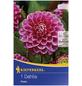 KIEPENKERL Blumenzwiebel Dahlie, Dahlia Hybrida, Blütenfarbe: rosa-Thumbnail