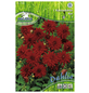PEGASUS Blumenzwiebel Dahlie, Dahlia Hybrida, Blütenfarbe: rot-Thumbnail