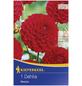 KIEPENKERL Blumenzwiebel Dahlie, Dahlia Hybrida, Blütenfarbe: rot-Thumbnail