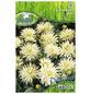 PEGASUS Blumenzwiebel Dahlie, Dahlia Hybrida, Blütenfarbe: weiß-Thumbnail