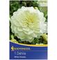 KIEPENKERL Blumenzwiebel Dahlie, Dahlia Hybrida, Blütenfarbe: weiß-Thumbnail