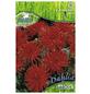 PEGASUS Blumenzwiebel Dahlie, Dahlia X Hybrida, Blütenfarbe: rot-Thumbnail
