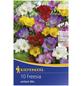 KIEPENKERL Blumenzwiebel Freesie, Freesia Hybrida, Blütenfarbe: mehrfarbig-Thumbnail