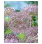 GARTENKRONE Blumenzwiebel »Gartenkrone Allium Christophii«-Thumbnail