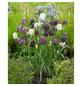 GARTENKRONE Blumenzwiebel »Gartenkrone Fritillaria Meleagris«-Thumbnail