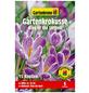 GARTENKRONE Blumenzwiebel »Gartenkrone Krokusse King of the Striped«-Thumbnail