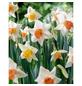GARTENKRONE Blumenzwiebel »Gartenkrone Narzisse Accent«-Thumbnail