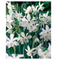 GARTENKRONE Blumenzwiebel »Gartenkrone Narzisse Thalia«-Thumbnail