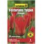 GARTENKRONE Blumenzwiebel »Gartenkrone Tulpe Forsteriana Princeps«-Thumbnail