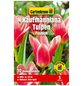 GARTENKRONE Blumenzwiebel »Gartenkrone Tulpe Kaufmanniana Fashion«-Thumbnail