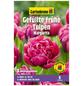 GARTENKRONE Blumenzwiebel »Gartenkrone Tulpe Margarita«-Thumbnail