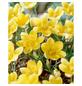 GARTENKRONE Blumenzwiebel »Gartenkrone Wildkrokusse Romance«-Thumbnail