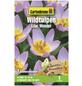 GARTENKRONE Blumenzwiebel »Gartenkrone Wildtulpe Bakeri Lilacwonder«-Thumbnail