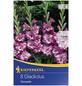 KIEPENKERL Blumenzwiebel Gladiole, Gladiolus Hybrida, Blütenfarbe: lila-Thumbnail