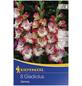 KIEPENKERL Blumenzwiebel Gladiole, Gladiolus Hybrida, Blütenfarbe: pink/weiß-Thumbnail