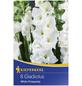 KIEPENKERL Blumenzwiebel Gladiole, Gladiolus Hybrida, Blütenfarbe: weiß-Thumbnail